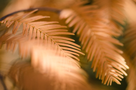 The Golden Needles of the Dawn Redwood in Autumn