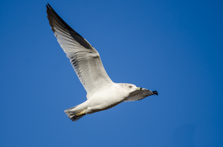Ring-Billed Gull Flying in a Blue Sky Stock Photo