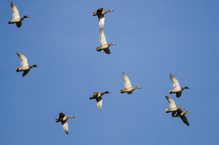Flock of Mallard Ducks Flying in a Blue Sky Banco de Imagens