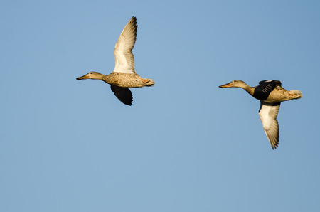 Pair of Northern Shovelers Flying in a Blue Sky