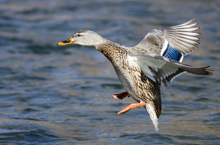 Mallard Duck Landing on the Cool Water