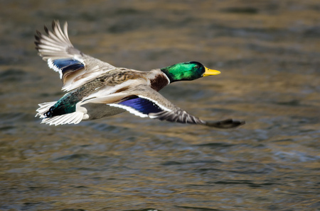 Mallard Duck Flying Over the Flowing River Banco de Imagens