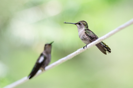 Pair of Hummingbirds Perched on a Piece of White Clothesline Imagens