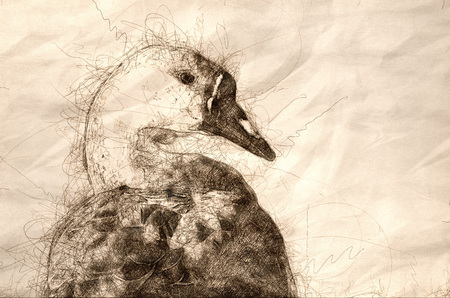 Sketch of the Profile of a Young Chinese Goose on the Waters of a Peaceful Pond