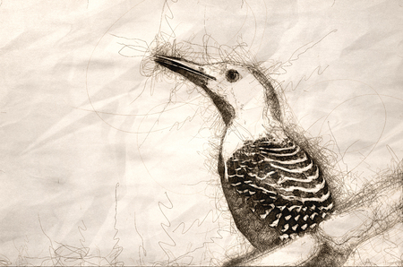 Sketch of Red-Bellied Woodpecker Profile