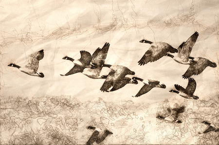 Sketch of a Large Flock of Geese Taking Flight Stock Photo