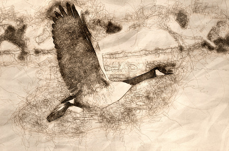 Sketch of a Canada Goose Taking Off From a River