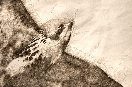Sketch of an Immature Red-Tailed Hawk in Flight Stock Photo