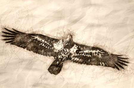 Sketch of Young Bald Eagle in Flight Stock Photo