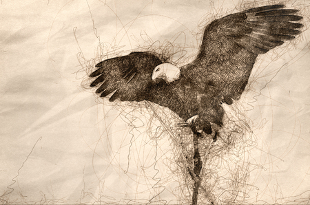 Sketch of a Bald Eagle Hunting From The Tree Top