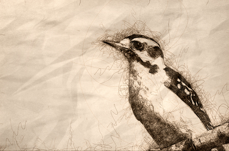 Sketch of a Perched Downy Woodpecker