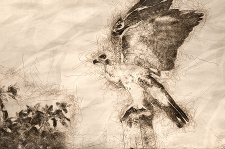 Sketch of a Red-Tailed Hawk Taking to Flight