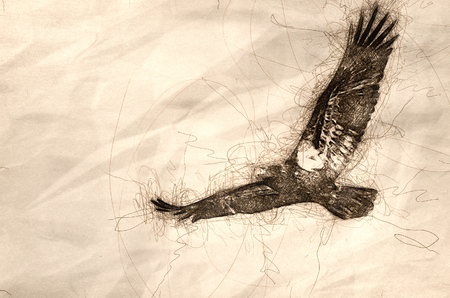 Sketch of an Immature Bald Eagle in Flight Standard-Bild - 117487262