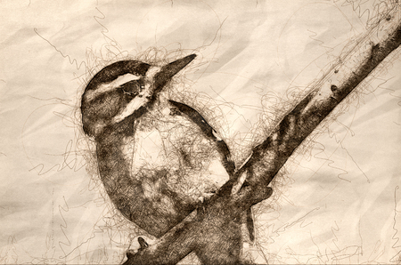Sketch of a Hairy Woodpecker Perched in a Tree