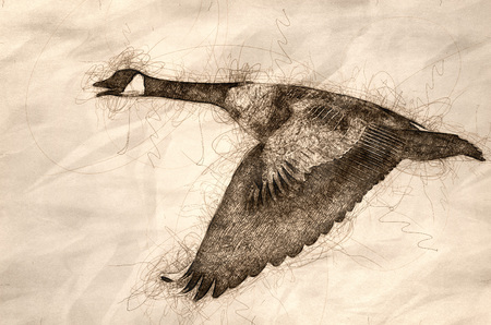 Sketch of a Canada Goose Flying in a Blue Sky 写真素材