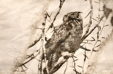 Sketch of a Great Horned Owl Scanning Across the Tree Tops