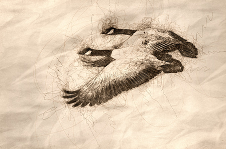 Sketch of a Canada Geese Taking to Flight from the Water