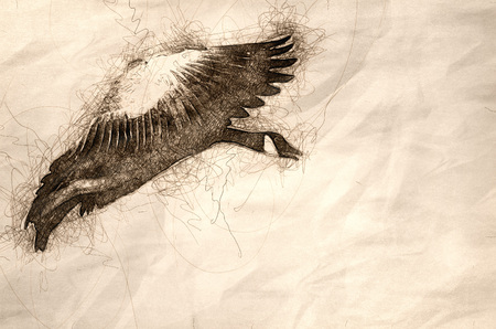 Sketch of a Canada Goose Coming in for a Landing 写真素材