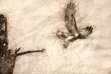 Sketch of Red-Tailed Hawk Taking Off from Cedar Tree Stock Photo