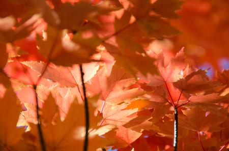 Crimson Maple Leaves Exhibiting the Elegance of Autumn
