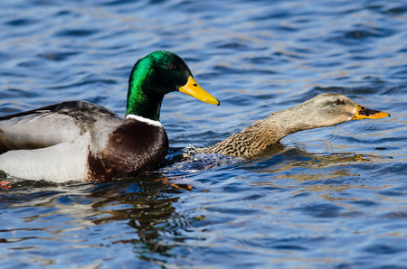 Pair of Mallard Ducks Mating on the Water