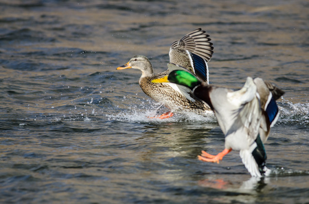 Pair of Mallard Ducks Landing on the Blue Water