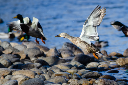 Mallard Ducks Taking to Flight from the Rocky River Shore Banco de Imagens