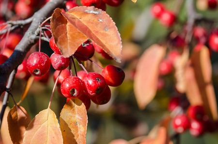 Bright Red Berries of the Autumn Dog Rose Bush