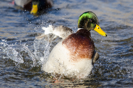 Mallard Duck Playing and Splashing in the Cool and Refreshing Water Banco de Imagens