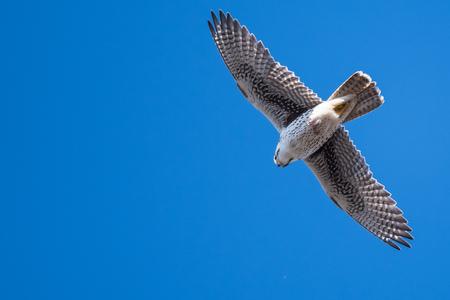 Prairie Falcon volando alto en un cielo azul