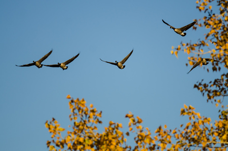 Canada Geese Flying Low Over the Autumn Trees Stock Photo