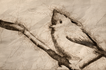 Sketch of a Young Tufted Titmouse Perched on a Branch