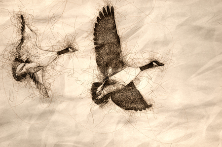 Sketch of a Pair of Canada Geese Flying in a Blue Sky Imagens