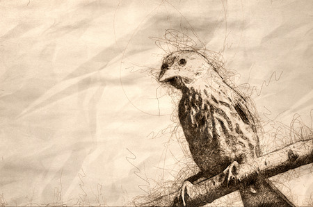 Sketch of a House Finch Having a Bad Hair Day