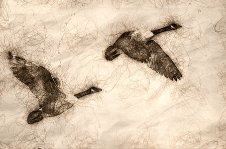 Sketch of a Pair of Canada Geese Flying in a Blue Sky Banco de Imagens