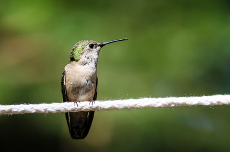 Rufous Hummingbird Perched on a Piece of White Clothesline Stok Fotoğraf