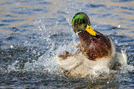 Mallard Duck Playing and Splashing in the Cool and Refreshing Water Foto de archivo - 121633212