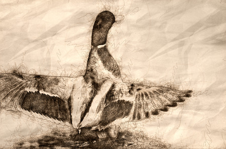 Sketch of a Mallard Duck Stretching Its Wings While Resting on the Water