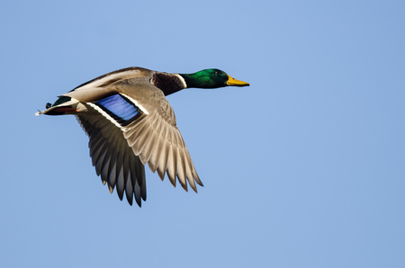Mallard Duck Flying in a Blue Sky Standard-Bild