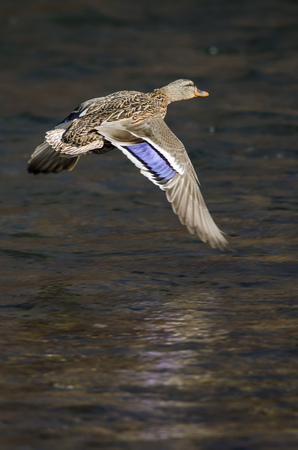 Mallard Duck Flying Over the Flowing River Foto de archivo - 123157507
