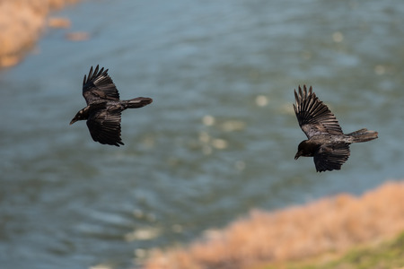 Two Common Black Ravens Flying Over the Canyon River Stock Photo