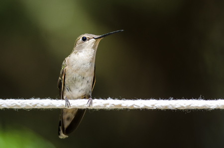 Black-Chinned Hummingbird Perched on a Piece of White Clothesline
