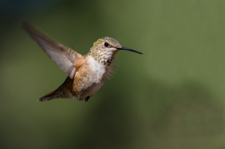 Adorable Little Rufous Hummingbird Hovering in Flight Deep in the Forest Stock Photo
