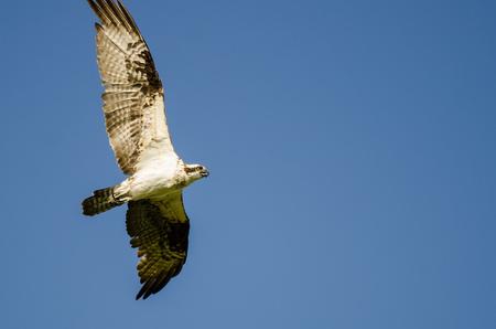 Lone Osprey Flying in a Blue Sky Stock Photo