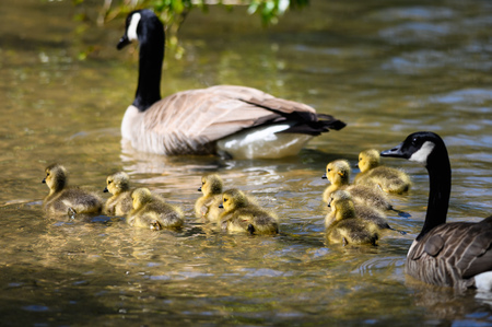 Adorable Newborn Goslings Swimming Beside Their Mother