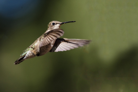 Black-Chinned Hummingbird Hovering in Flight Deep in the Forest Stock Photo
