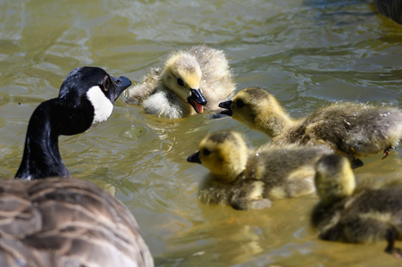 Newborn Goslings Learning to Swim and Argue Under the Watchful Eye of Mother