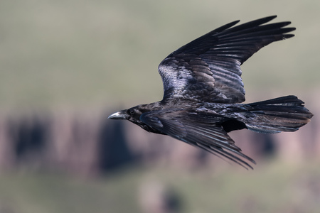 Common Black Raven Flying Over the Canyon Floor
