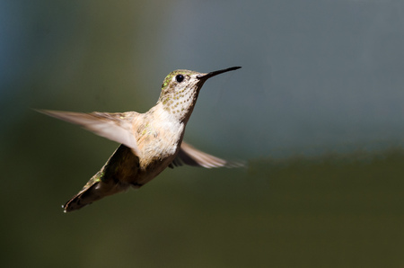 Broad-Tailed Hummingbird Hovering in Flight Deep in the Forest Stock Photo