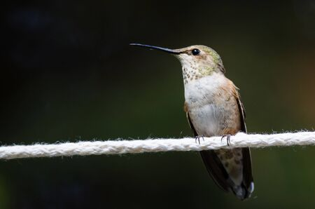 Rufous Hummingbird Perched on a Piece of White Clothesline 스톡 콘텐츠